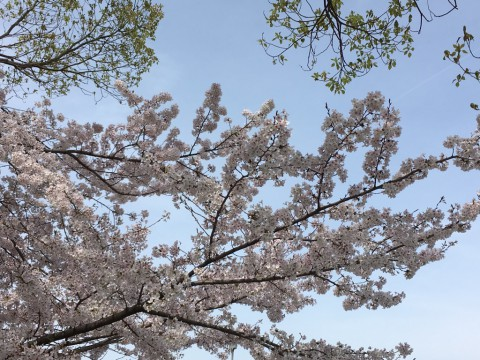 2016桜と空